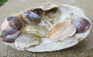 Figure 4:  Several Anomia simplex (5) of different colors and slipper shells (6) all adhering to a single large clam shell.