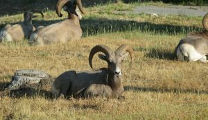 Big Horn sheep in Radium Springs